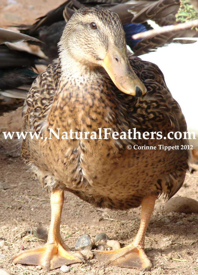 Cruelty-Free Mallard Duck Feathers