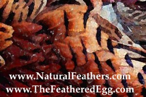 Pheasant Feathers for sale at Natural Feathers