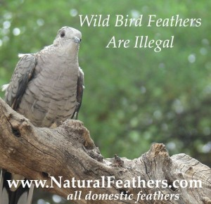 Natural Feathers From Domestic Birds Only
