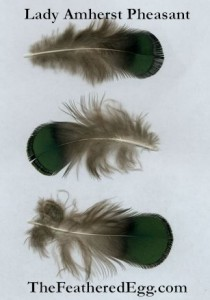 Lady Amherst Pheasant Cruelty Free Feathers