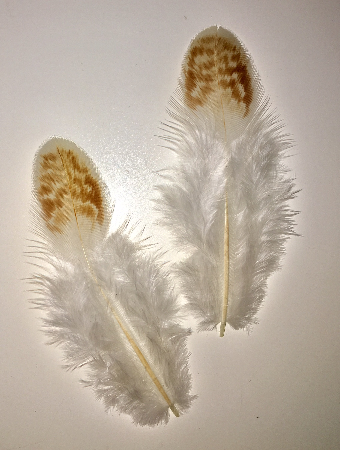 Red Cornish Chicken Feathers