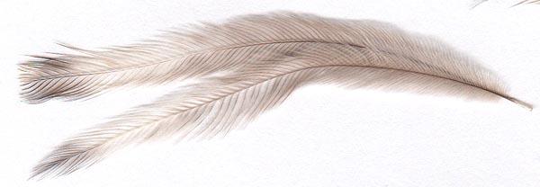 medium emu feathers
